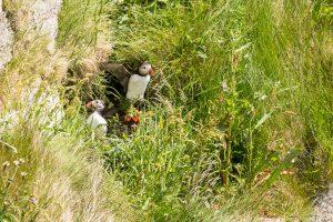 Norge - Runde - Lunnefågel