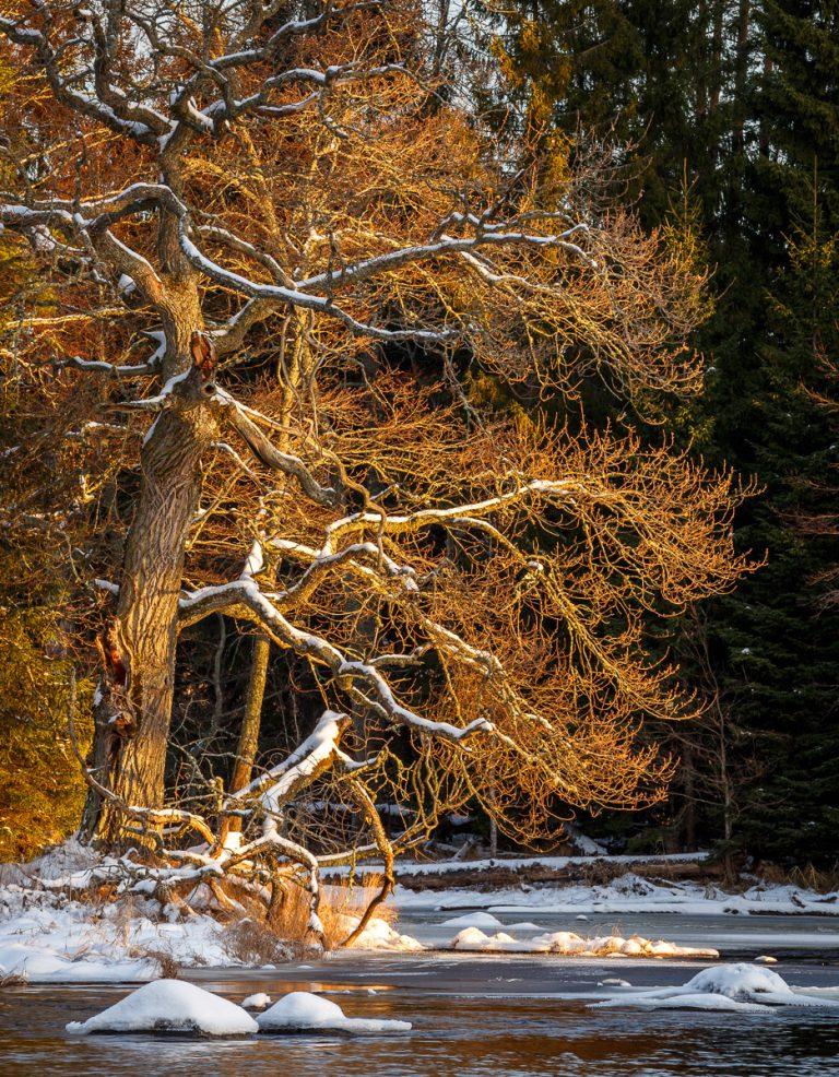 Gysingen 2017- Träd i morgonljus